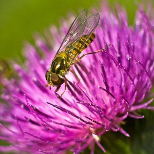 Schwebfliege, Biene, Makro, Zwischenring