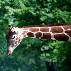 Zoo Berlin, Giraffen, Fotograf, Revuenon 70-210 4.0